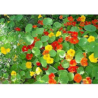 Flower Seeds : Watercress Flower Seeds Plant Seeds Garden Seeds Packet (19 Packets) Garden Plant Seeds By Creative Farmer
