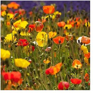 Flower Seeds : Papaver Mixed Flower Seeds For Rainy Season Pots Of Plants Garden Home Garden Seeds Eco Pack Plant Seeds By Creative Farmer
