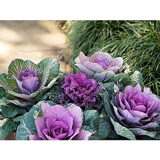 Flower Seeds : Ornamental Leaf Cabbage Mixed Home Gardening Seeds Kitchen Terrace Gardening (18 Packets) Garden Plant Seeds By Creative Farmer