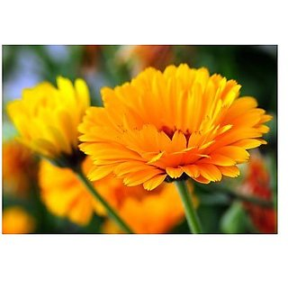 Flower Seeds : Ruddles Yellow Flower Seeds Hedge Garden Garden Home Garden Seeds Eco Pack Plant Seeds By Creative Farmer