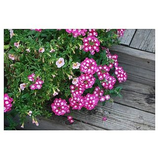 Flower Seeds : Barbena Garden Seeds Of Flowers Plant Seeds Of Flowers Garden Home Garden Seeds Eco Pack Plant Seeds By Creative Farmer