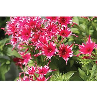 Flower Seeds : Phlox Twinkle Mix Garden Mix Seeds For Terrace Garden Pots Of Plants Garden Home Garden Seeds Eco Pack Plant Seeds By Creative Farmer