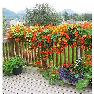 Flower Seeds : Nasturtiums Home Depot Flower Seeds Suitable For Roof Top Gardening Bags (20 Packets) Garden Plant Seeds By Creative Farmer