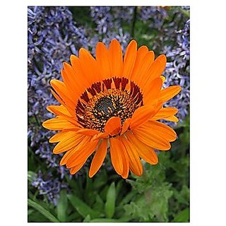 Flower Seeds : Showy Flowers Arctotis Fastuosa Plant Home Garden Pack (20 Packets) Garden Plant Seeds By Creative Farmer