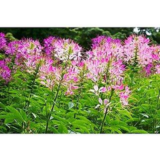 Flower Seeds : Cleome Spinosa Mix Garden Seeds Winter Flower Seeds For Gardening (15 Packets) Garden Plant Seeds By Creative Farmer