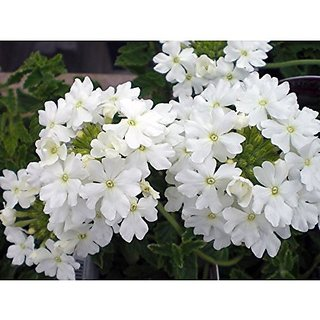 Flower Seeds : Verbena Honey Plant White Flower Seed All Season Heirloom Seeds (20 Packets) Garden Plant Seeds By Creative Farmer