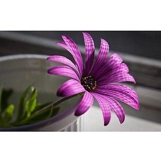 Flower Seeds : Rare White Side Stripes Purple Garden Of Flowers Garden Home Garden Seeds Eco Pack Plant Seeds By Creative Farmer