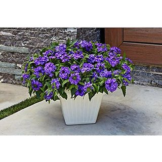Flower Seeds : Multi-Colors Verbena Hanging Planters Blue Gardening Flower Seeds Seeds For Terrace (15 Packets) Garden Plant Seeds By Creative Farmer