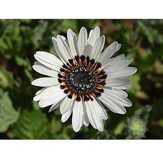 Flower Seeds : Venidium Fastuosum Mixed Flower Seeds For Gardening (25 Packets) Garden Plant Seeds By Creative Farmer