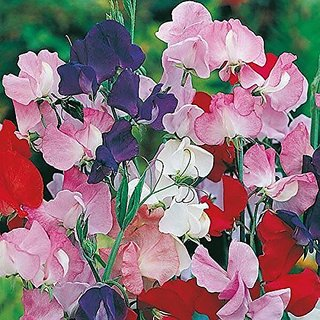 Flower Seeds : Sweetpea Galaxy Flower Seeds For Direct Sowing (14 Packets) Garden Plant Seeds By Creative Farmer