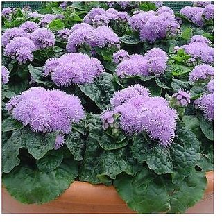 Flower Seeds : Blueweed Garden Plants Seeds Garden Seeds For Plants (16 Packets) Garden Plant Seeds By Creative Farmer