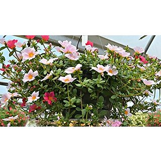 Flower Seeds : Twelve OClock Flower Seeds Hybrid Plant Seeds For Balcony Garden Home Garden Seeds Eco Pack Plant Seeds By Creative Farmer