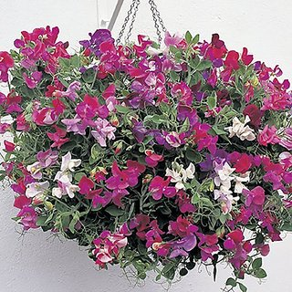 Flower Seeds : Sweet Pea-Royal Family Mix Plant Garden Seeds Garden Hedge Seeds (20 Packets) Garden Plant Seeds By Creative Farmer