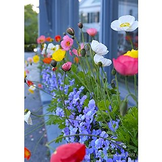 Flower Seeds : Corn Poppy Flowering Plants Seeds Plant Seeds For Balcony (17 Packets) Garden Plant Seeds By Creative Farmer