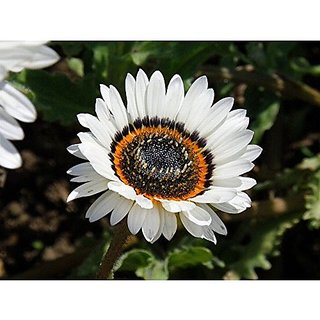 Flower Seeds : Venidium-White Shine Seed For Garden Garden Home Garden Seeds Eco Pack Plant Seeds By Creative Farmer