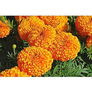 Flower Seeds : African Marigold Hawaii Orange Seeds Of Flower Seeds Seeds Plant (17 Packets) Garden Plant Seeds By Creative Farmer