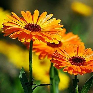 Flower Seeds : Pot Marigold (Dwarf) Plants Annuals (17 Packets) Garden Plant Seeds By Creative Farmer