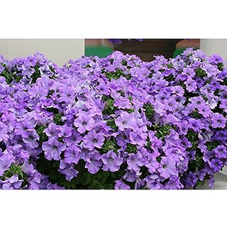 Flower Seeds : Carpet Blue Lace Hybrid Petunia Hybrida For Poly Growbag Garden Home Garden Seeds Eco Pack Plant Seeds By Creative Farmer