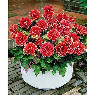 Flower Seeds : Dahlia-Unwin Dwarf Terrace Garden Flower For Nursery Plant (Seeds) (18 Packets) Garden Plant Seeds By Creative Farmer