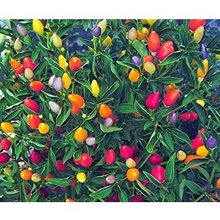 Ornamental Seeds : Ornamental Chilly (Capsicum) Choice Round Mix Packet Seeds Garden Home Garden Seeds Eco Pack Plant Seeds By Creative Farmer