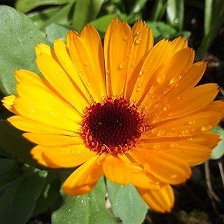 Flower Seeds : Orange Pot Marigold (Dwarf) Planting Flowers Garden Home Balcony (25 Packets) Garden Plant Seeds By Creative Farmer