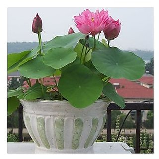 Flower Seeds : Light Pink Bowl Lotus Seeds Garden 15 Seeds- Plants Seeds For Kitchen Garden Garden Home Garden Seeds Eco Pack Plant Seeds By Creative Farmer