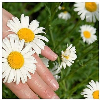 Flower Seeds : Chandramukhi White Flower Seeds Packets Suitable For Grow Bags/Pots/Containers Garden Home Garden Seeds Eco Pack Plant Seeds By Creative Farmer