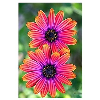 Flower Seeds : Common Daisy Garden Seeds At Home (19 Packets) Garden Plant Seeds By Creative Farmer