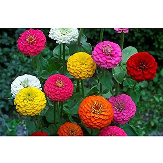Flower Seeds : Zinnia Double Giant Mix Flower Seeds Flower Seeds Seeds For Indian Climate (16 Packets) Garden Plant Seeds By Creative Farmer