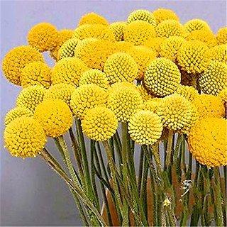 Flower Seeds : Drum Stick-Globosa Yellow Exotic Garden At Home (15 Packets) Garden Plant Seeds By Creative Farmer