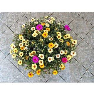 Flower Seeds : Hanging Basket Plant Purslane Seeds Garden Seeds Home Depot (14 Packets) Garden Plant Seeds By Creative Farmer