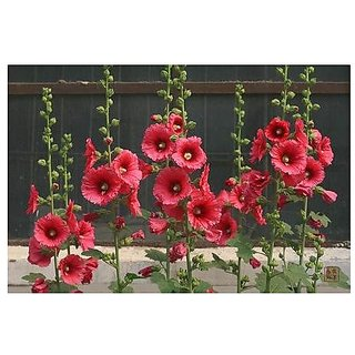 Flower Seeds : Hollyhock Double Mixed Flower Seeds Garden Seeds Of Flowers Flower Seeds For Container Garden Home Garden Seeds Eco Pack Plant Seeds By Creative Farmer