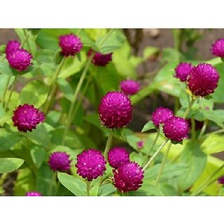 Flower Seeds : Gway Swan Gomphrena Flower Seeds Of Winter Season Container Suitable Garden Home Garden Seeds Eco Pack Plant Seeds By Creative Farmer