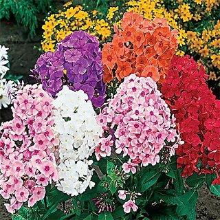 Flower Seeds : Phlox Beauty Mixed Gardening Seeds For Garden Garden Home Garden Seeds Eco Pack Plant Seeds By Creative Farmer