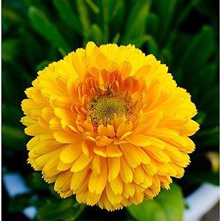 Flower Seeds : Genda Pot Marigold Mixed Seeds Winter Flowers Container Gardening (14 Packets) Garden Plant Seeds By Creative Farmer