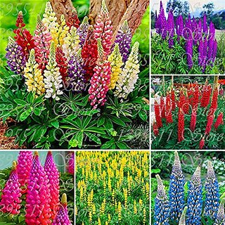 Flower Seeds : Lupin-Pixie Delight Dwarf Seeds Plant Seeds For Hummingbirds (19 Packets) Garden Plant Seeds By Creative Farmer
