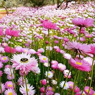 Flower Seeds : Acroclinum Double Mixed Flower Seeds,Rarest Variety Garden At Home Garden Home Garden Seeds Eco Pack Plant Seeds By Creative Farmer