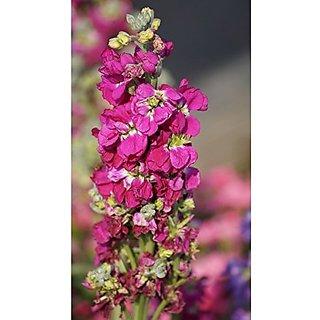 Flower Seeds : Stocks Flower Tall Mix Seeds Garden Outdoor (19 Packets) Garden Plant Seeds By Creative Farmer