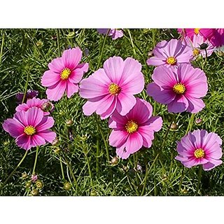 Flower Seeds : Rose And Red Mixed Cosmos Seeds Seeds Of Flower Seeds Everblooming Flowers (20 Packets) Garden Plant Seeds By Creative Farmer