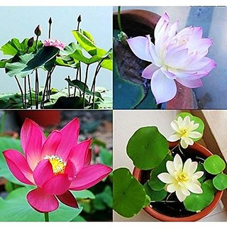 Aquatic Flower Seeds : Indian Lotus Pink Flower Nelumbo Nucifera Kamal/Sacred Water Lily Flower Seeds Growing 15 Seeds- Plants Seeds For Mini Pots Garden Home Garden Seeds Eco Pack Plant Seeds By Creative Farmer