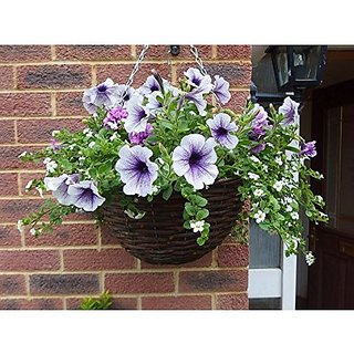 Flower Seeds : Funnel-Shaped Petunia Exterior Plantscaping Garden Home Garden Seeds Eco Pack Plant Seeds By Creative Farmer