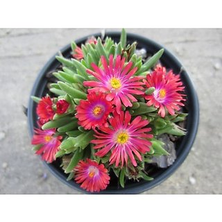 Flower Seeds : Ice Plant Flower Seeds Hanging Best Varieties Of Seeds Garden Home Garden Seeds Eco Pack Plant Seeds By Creative Farmer