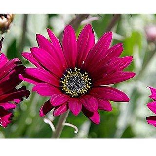 Flower Seeds : Arctotis Grandis Seeds Of Flower Plants (19 Packets) Garden Plant Seeds By Creative Farmer