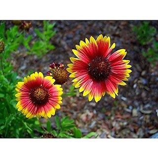 Flower Seeds : Wildflower Meadow Firewheel Seeds House Garden (14 Packets) Garden Plant Seeds By Creative Farmer