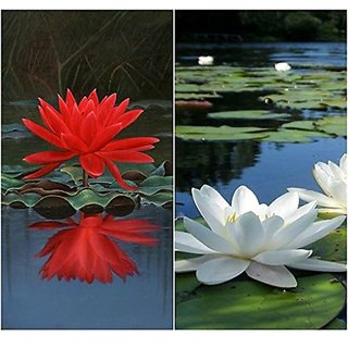 Flower Seeds : Lotus Flower Seeds Red & White Mixed Package 15 Seeds- Seeds For Home Garden (17 Packets) Garden Plant Seeds By Creative Farmer