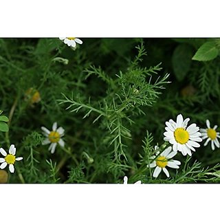 Flower Seeds : Metrecaria-Gold Star Best For Pots Flower Seeds For Rainy Season Seeds Flowers Garden Home Garden Seeds Eco Pack Plant Seeds By Creative Farmer