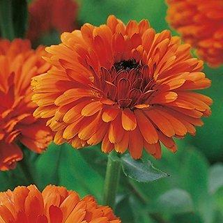Flower Seeds : Ruddles (Dwarf) Garden Home Balcony (16 Packets) Garden Plant Seeds By Creative Farmer