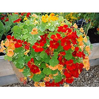 Flower Seeds : Nasturtiums Grow In Pots Seed Terrace Garden Seeds Garden Home Garden Seeds Eco Pack Plant Seeds By Creative Farmer
