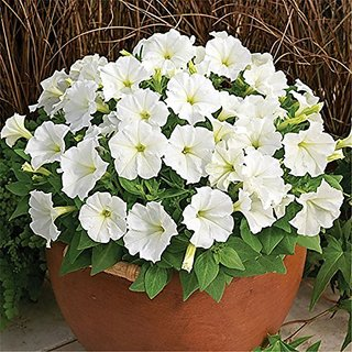 Flower Seeds : White Petunia Non Gmo Flower Seeds Hybrid Terrace And Kitchen Gardening (19 Packets) Garden Plant Seeds By Creative Farmer