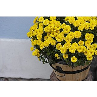 Flower Seeds : Saamandi- Chrysanthemum For Terrace Gardening (19 Packets) Garden Plant Seeds By Creative Farmer